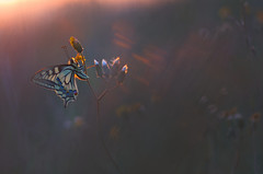 Last sun rays (donlope1) Tags: macro nature light papillon butterfly machaon insect proxy wild wildlife bokeh