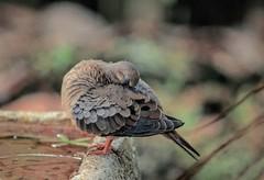 That Laid Back Feeling (ACEZandEIGHTZ) Tags: mourningdove nikon d3200 nature backyard birdwatcher birdbath bird bokeh zenaidamacroura coth5 coth sunrays5 alittlebeauty