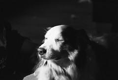 Anthony the Border Collie 🐾 (unbunt.me) Tags: meinfilmlab film analog wwwmeinfilmlabde anthony blackandwhite kodak nikonfe blackwhite nikon p3200 bw bordercollie dog hund