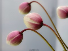 Beauty unknown (Mellisapix) Tags: flowerbuds budding pink red plants climbing vine petals softness softpetals bloom gardenofengland uk