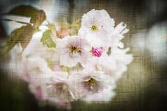Blossom on Linen (judy dean) Tags: judydean 2019 batsford lensbaby blossom tree cherry pink texture ps velvet56 plants gardens arboretum spring blossomonlinen