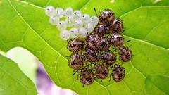 nascimento (abelhário) Tags: percevejos ninfas mariafedida heteroptera wanzen wantsen nymphs newbornbugs bugs eggshells inseto insecto insekt insekte brazil brasil brazilië brasilien