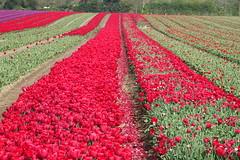Tulip landscape (hedgehoggarden1) Tags: tulips flowers flora nature colour sonycybershot norfolk eastanglia uk sony landscape fields