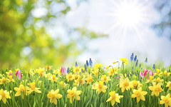 Spring Easter background (Daniel0556) Tags: gardening garden plants summer background spring easter growing copyspace season land environment daffodils flower grow narcissus flowering horticulture cultivate flowerbed green grass meadow scenic field blur abstract sun bokeh sky design lawn sunny flora colorful lush foliage leaf nature tulip colourful may seasonal outdoor park yellow postcard sunlight vivid sunbeam