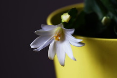 DSC_3162 Schlumbergera x buckleyi - Easter Cactus (PeaTJay) Tags: nikond750 sigma reading lowerearley berkshire macro micro closeups gardens indoors nature flora fauna plants flowers schlumbergera