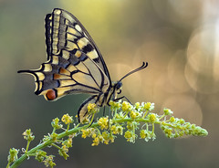 Macaón (Masaco 76) Tags: macro macronature microfourthirds nature bokeh butterfly flowers focusstacking wildlife waterdrop olympus helicon focus photoshop outside primavera