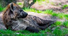 GevlekteHyena3 (Borreltje.com) Tags: animals zoo dierenparkapeldoorn dierentuin wildlife dieren nature spottedhyena hyena scavenger