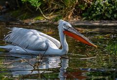 KroeskopPelikaan (Borreltje.com) Tags: animals zoo dierenparkapeldoorn dierentuin wildlife dieren nature pelikaan pelican bird