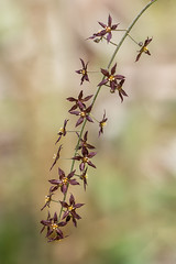 Xanthorhiza simplicissima 02a (jimf_29605) Tags: xanthorhizasimplicissima persimmonridgeroad greenvillecounty southcarolina wildflowers sony a7rii 24240mm