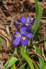 Iris verna (Dwarf Iris) (jimf_29605) Tags: irisverna dwarfiris persimmonridgeroad greenvillecounty southcarolina wildflowers sony a7rii 24240mm