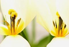 Tulip Twins (acwills2014) Tags: twins tulips hearttoheart heart macro macroflowers beauty intimacy cream lemon
