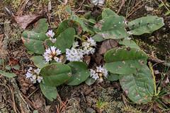 Epigaea repens (Trailing Arbutus) (jimf_29605) Tags: epigaearepens trailingarbutus persimmonridgeroad greenvillecounty southcarolina wildflowers sony a7rii 24240mm