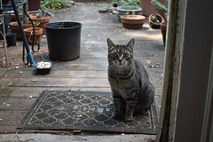 Stupified (rootcrop54) Tags: camille female mackerel tabby cat welcomemat doorjamb doorway opendoor door inorout neko macska kedi 猫 kočka kissa γάτα köttur kucing gatto 고양이 kaķis katė katt katze katzen kot кошка mačka gatos maček kitteh chat ネコ