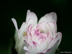 Tra i petali (laura.mnz) Tags: fiore pertali primavera colore bianco rosa giardino insetto spring flower color boke macro