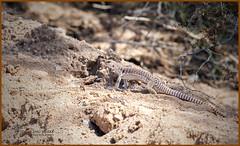 _03A9905 Desert Iguana ©Dancing Snake Nature Photography (Dancing Snake Nature Photography) Tags: arizona nature photography dancingsnakenaturephotography reptiles lizard desertiguana maranaaz
