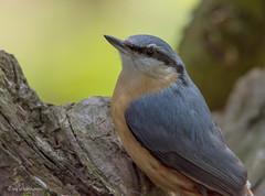 Kleiber (wernerlohmanns) Tags: kleiber sperlingsvögel singvögel schärfentiefe wildlife natur outdoor nabu nikond7200 sigma150600c deutschland