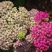 light pink and red yarrow