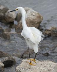 snowy egret (Pattys-photos) Tags: snowy egret marketlakewildlifemanagementarea idaho pattypickett4748gmailcom pattypickett