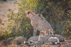 Mothers pride (Coisroux) Tags: d850 nikond850 leopard bigcats thebig5 kwandwe safari africanwildlife southafricanwildlife pride bushveld sunlight