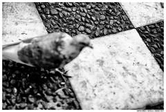 .. (Matías Brëa) Tags: animal paloma dove blancoynegro blackandwhite bnw street streetphotography mono monochrome monocromo desenfoque