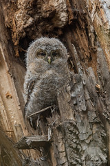 Tawny Owlett (fascinationwildlife) Tags: animal bird birding urban wild wildlife spring tawny owl eule kauz waldkauz fledgling ästling young chick tree cavity nest forest park schloss nymphenburg munich münchen deutschland germany bayern bavaria morning owlett