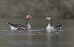 Greylag Geese-Anser anser. (PANDOOZY PHOTOS) Tags: greylaggeese anseranser wildfowl nature wildlife bird birds goose anatidae anseriformes pair two uk gb geese spring male female