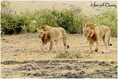 Brothers for Life! (MAC's Wild Pixels) Tags: brothersforlife lion malelion pantheraleo lionking kinglion lionpride lions animal mammal wildlife africanwildlife wildafrica wildanimal wildcats wildlifephotography carnivore predator hunter bigpussycat bigfive outdoors outofafrica nature naturephotography safari gamedrive masaimara maasaimaragamereserve kenya macswildpixels wildpixelsafaris munibachaudry loki mdogo hammerkoppride coth alittlebeauty specanimal coth5 ngc npc