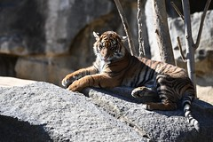 Tiger 02 (Sebastian Ukas) Tags: 150600mm berlin nikon sigma tiere tierpark tiger z6