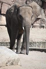 Elefant 01 (Sebastian Ukas) Tags: 150600mm berlin nikon sigma tiere tierpark z6 elefant