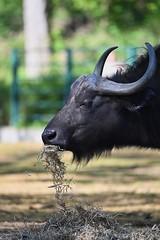 Bison 01 (Sebastian Ukas) Tags: 150600mm berlin nikon sigma tiere tierpark z6 bison