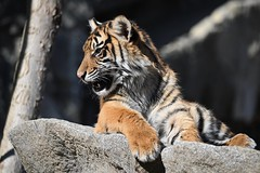 Tiger 04 (Sebastian Ukas) Tags: 150600mm berlin nikon sigma tiere tierpark tiger z6