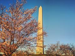 morning commute (ekelly80) Tags: dc washingtondc spring march2019 washingtonmonument morning light sunrise cherryblossoms pink flowers
