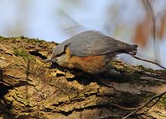 Nuthatch (Treflyn) Tags: nuthatch bird wild nature nut center parcs de eemhof zeewolde netherlands