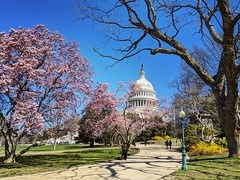 spring on the Hill (ekelly80) Tags: dc washingtondc spring march2019 capitolhill dome path walk trees shadows magnolias pink flowers