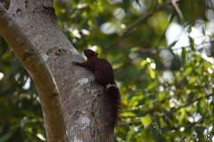 Écureuil de Finlayson (Tho41170) Tags: wildlife animaux faune cambodge cambodia asia asie écureuil de finlayson variable squirrel callosciurus finlaysonii mammifère rongeur kbal spean