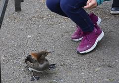 SW1 St James's Park (johnson.gordana) Tags: park bird feeding exotic feather trainers