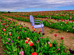In the Tulip Field (dngovoni) Tags: virginia burnside clouds flowers landscape spring tulips