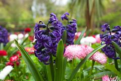 Kelsey Park Beckenham (Adam Swaine) Tags: kelseypark beckenham macro flora flowers londonparks parks spring canon england english britain beautiful petals macroworld uk ukcounties purplegreen