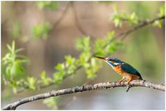 IJsvogel (vrouw) - Common Kingfisher (female)  (Alcedo atthis) ... (Martha de Jong-Lantink) Tags: 2019 alcedoatthis commonkingfisherfemale ijsvogelvrouw ijsvogelhutderuigehof natuurverenigingderuigehof
