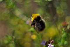 Spring Bumblebee (FotodioxPro) Tags: stefanorugolo pentax k5 pentaxk5 m42 helios44258mmf2 helios442 helios fotodioxmacroextensiontube bokeh macro bumblebee spring flowers vintagelens insect macrophotography insectphotography shallowdof fotodiox fotodioxpro