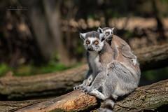 Baby on board (THW-Berlin) Tags: lemuren animals nature tiere primaten sony alpha6500 tierparkberlin mammals baby