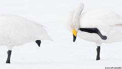 Laulujoutsen (mattisj) Tags: anatidae anseriformes aves birds cygnuscygnus elã¤imet fã¥glar laulujoutsen linnut sorsalinnut sorsat sã¥ngsvan whooperswan