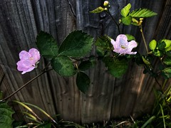 112/365 (moke076) Tags: 2019 365 project 365project project365 oneaday photoaday mobile cell cellphone iphone nature blackberry bush edible plant yard flower pink bloom blossom leaves