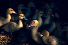 Les petits (Anne Sarthou . Photographie) Tags: ferme farm oiseau bird duck duckling canard caneton oie oisillon animal animaux volaille
