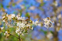 45 - Forbach en Avril 2019 (paspog) Tags: forbach forêt wald forest bois woods lorraine france printemps spring frühling avril april 2019 fleurs blumen flowers blossoms
