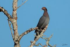 Paloma Turca - Patagioenas squamosa - Scaly Naped Pigeon (Juan Alberto Taveras) Tags: palomaturca patagioenassquamosa scalynapedpigeon republicadominicana rabodegato duvergé