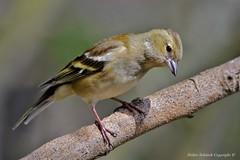 Pinson des arbres (Fringilla coelebs) (91) (Didier Schürch) Tags: nature foret branche animal oiseau pinson fringillacoelebs