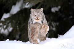 Wildcat (Megan Lorenz) Tags: canadalynx canadianlynx lynx cat feline wildcat animal mammal predator nature wildlife wild wildanimals snow winter action running northernontario ontario canada mlorenz meganlorenz