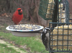 Male Cardinal and Downy Woodpecker IMG_1696 (Ted_Roger_Karson) Tags: canonpowershotsx280hs handheldcamera northernillinois backyard birdfeeder suet hairy woodpecker canon sx280 hs powershot hand held camera northern illinois bird feeder snow female cardnial redbellied back yard friends birds male full zoom telephotos redwinged miniature compact pocket seed cake animals telephoto thisisexcellent twop test photo minicompact food cardinal