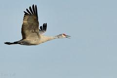 Ancient Migration (Terri Toll) Tags: sandhillcrane crane kearneynebraska rowesanctuary iainnicolsonauduboncenter bird flight sandhill platteriver migration nikon nikond850 d850 bucketlist